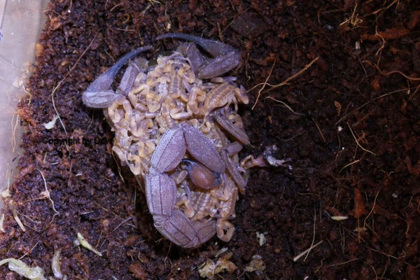 Babycurus jacksoni mit Nachwuchs instar II 21 Stk.