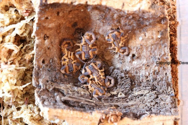 Babycurus gigas instar II