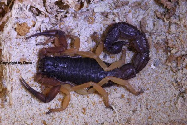 Parabuthus villosus typical morph instar V