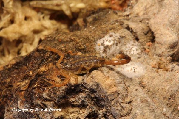 Centruroides balasensis instar II