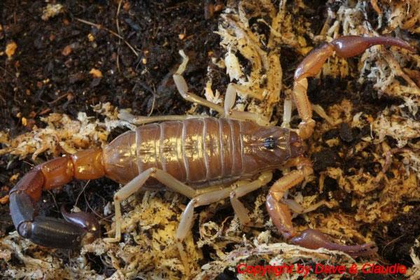Grosphus flavopiceus