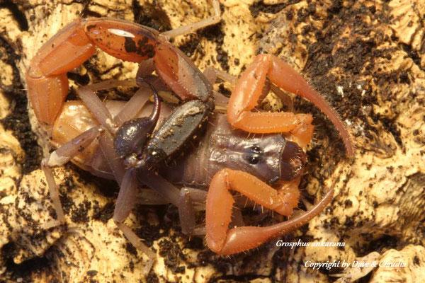 Grosphus ankarana 0.1 instar V