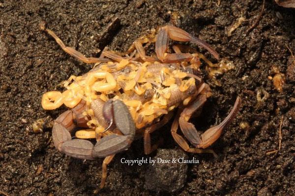 Tityus bahiensis mit instar II Nachzuchten