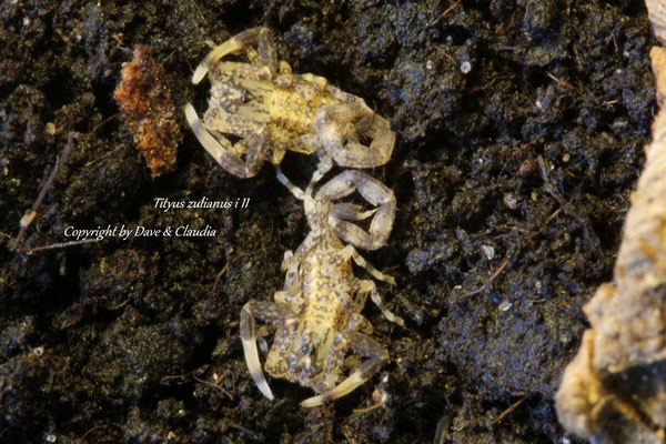 Tityus zulianus instar II