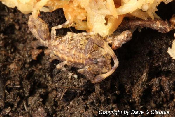 Tityus zulianus instar III