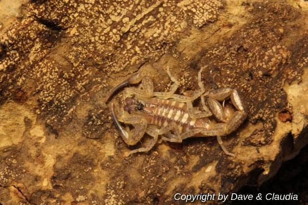 Centruroides nitidus instar III