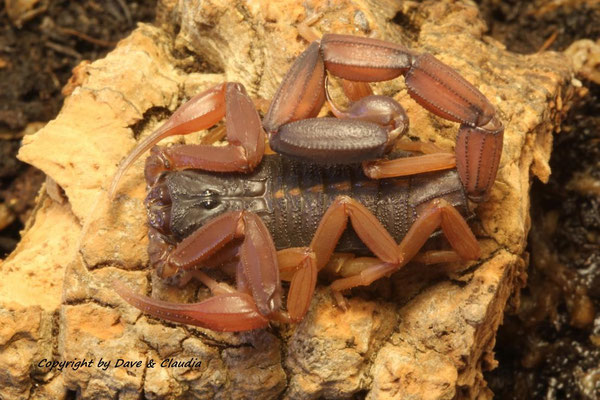 Centruroides gracilis 0.1 instar V