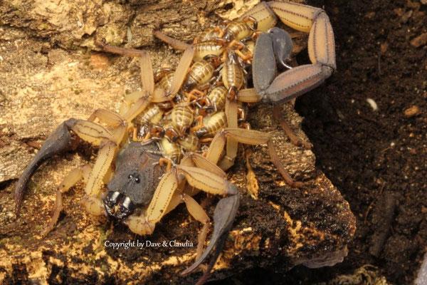 Centruroides bicolor mit instar I Nachzuchten