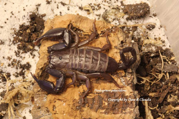 Hadogenes paucidens instar IV