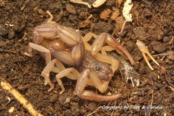 Centruroides edwardsii instar VII 0.1