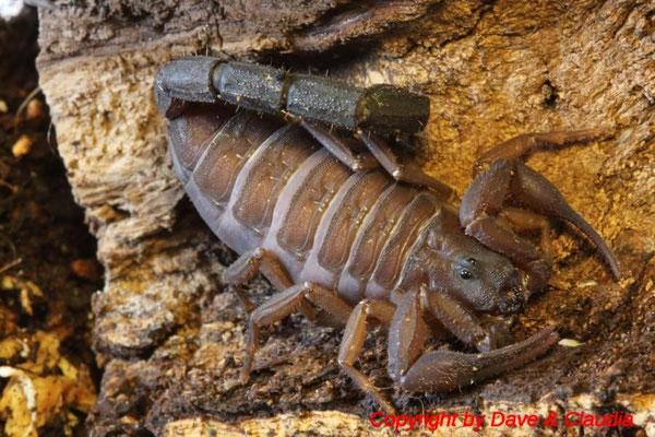 Grosphus madagascariensis 0.1