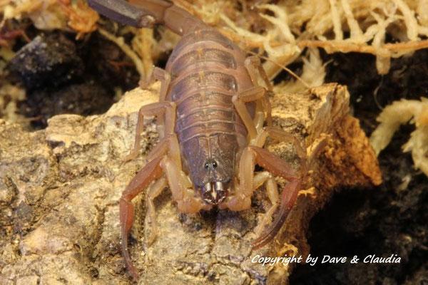 Centruroides gracilis Florida morph instar IV
