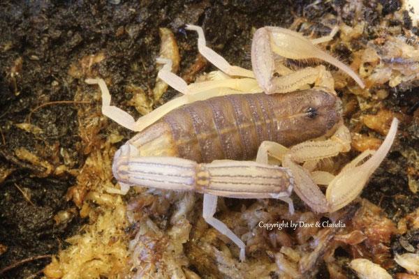 Centruroides edwardsii instar VII 1.0
