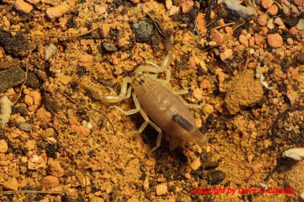Androctonus australis hector morph instar II