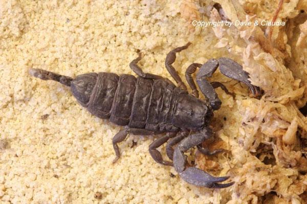 Hadogenes troglodytes instar III