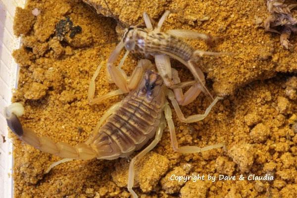 Leiurus quinquestriatus instar V