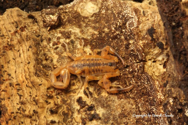 Babycurus wituensis wituensis instar II