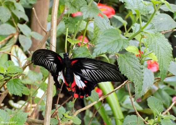 Papilio rumanzovia ( Vrouw )