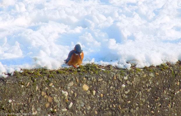 Ijsvogeltje voor sneeuwrand