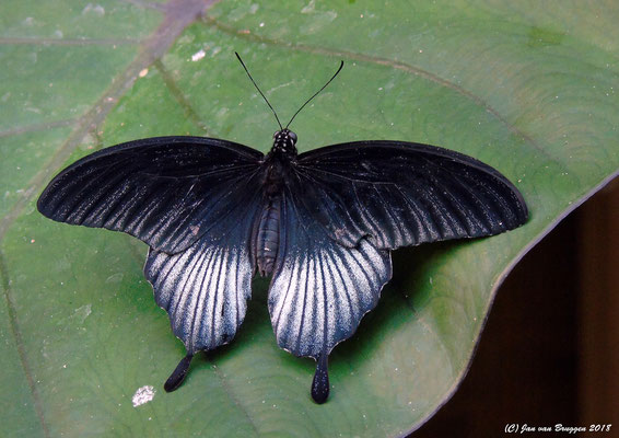 Papilio rumanzovia ( Man )