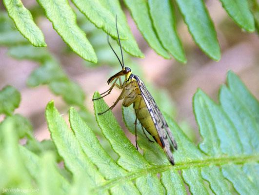 Schorpioenvlieg (Vrouwtje)