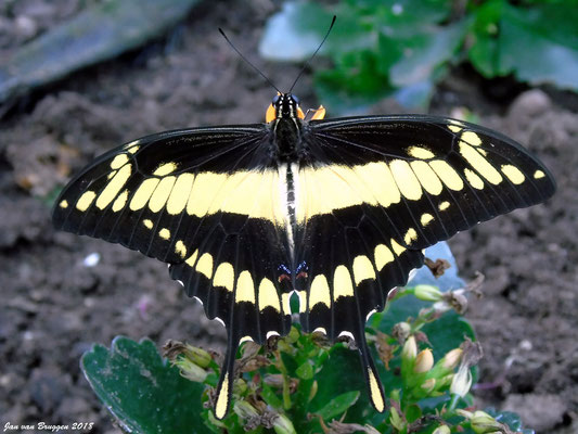 De Papilio cresphontes man ( Male)