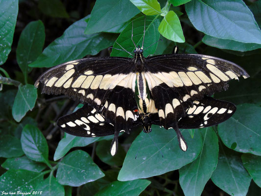 De Papilio cresphontes man + vrouw ( Male + Female)