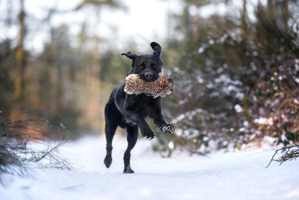 Wintershooting - Winterlandschaft - Labrador