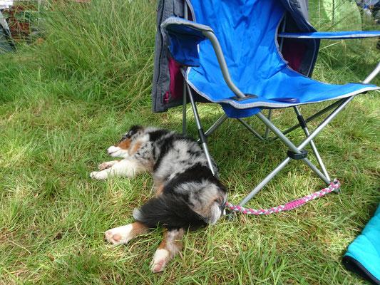YUMA schlafen an der Hundeausstellung in Aarau