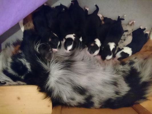 YUMA mit ihren 9 Welpen, geboren am 07.01.2018