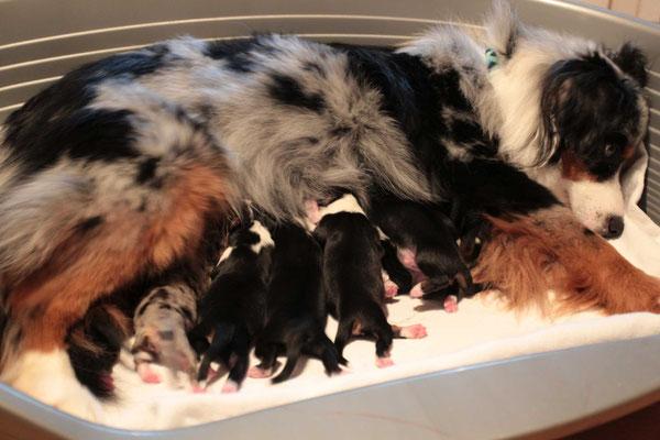 YUMA mit ihren 9 Welpen geboren am 07.01.2018