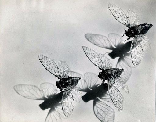 le photographe Pierre Auradon cigalles