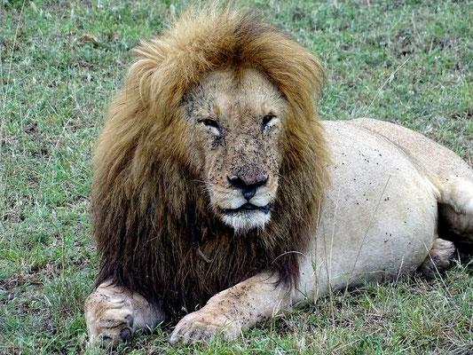 Löwe in der Masai Mara Kenia Reise