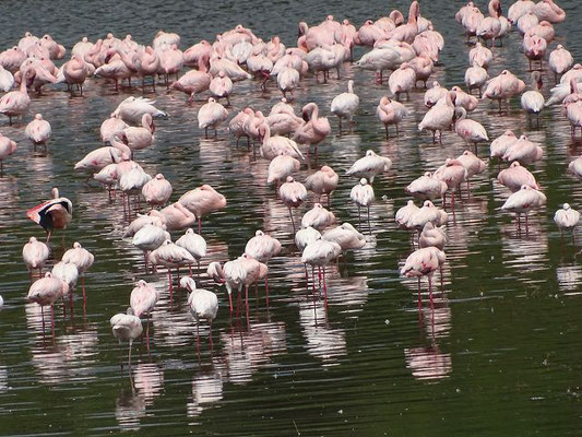 Flamingos Momella Seen