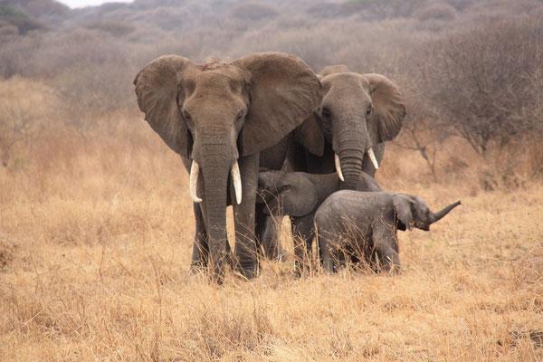 Elefanten auf einer Tansania Safari