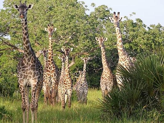 Giraffen Saadani Nationalpark