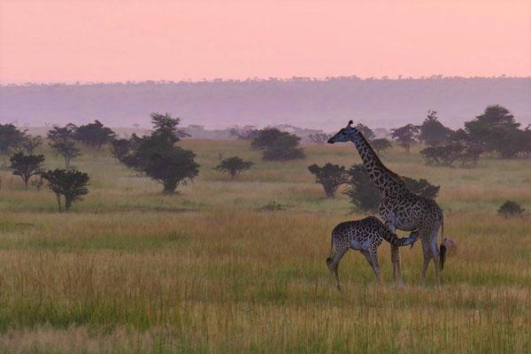 Giraffen  Olare Motorogi Kenia Safari