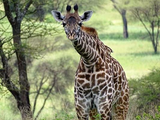 Giraffe Tarangire Nationalpark Tansania Safari