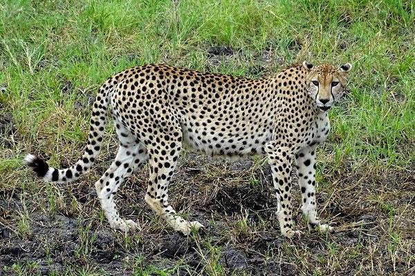 Gepard Tarangire Nationalpark Tansania Safari