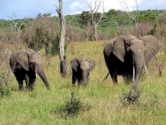 Elefanten auf Masai Mara Safari