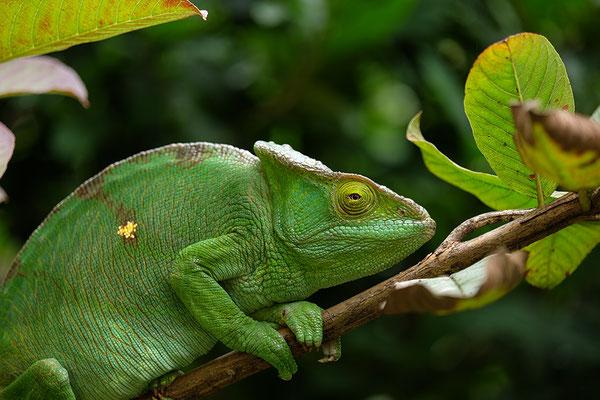 Chamäleon auf einer Madagaskar Reise