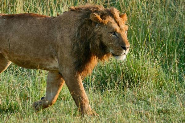 Löwe  Olare Motorogi Kenia Safari