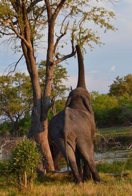 Elefant in der Khwai Konzession