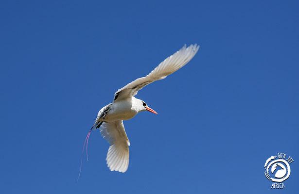 Rotschwanz-Tropikvogel, Nosy Ve
