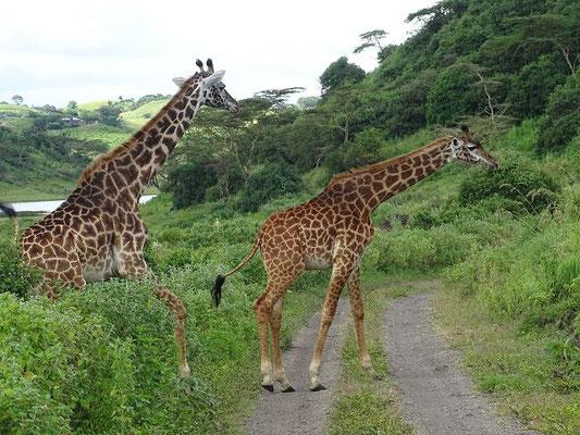 Giraffen Arusha Nationalpark, Tansania Safari