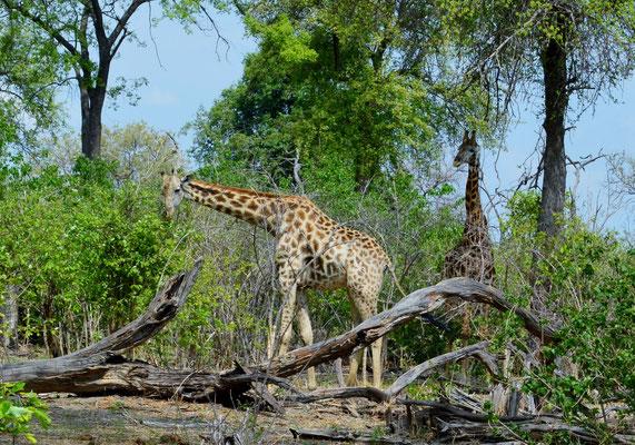 Giraffe im Moremi Game Reserve