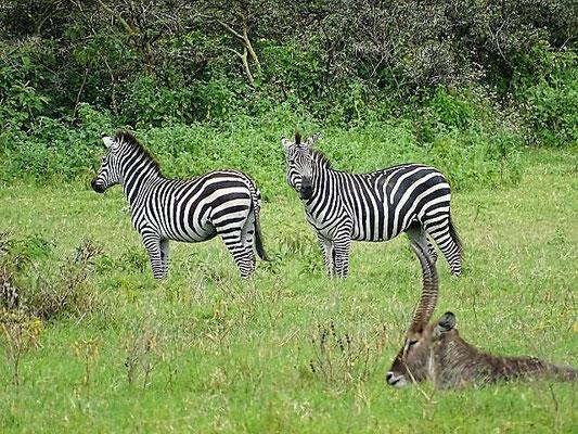 Zebras Arusha Nationalpark, Tansania Safari