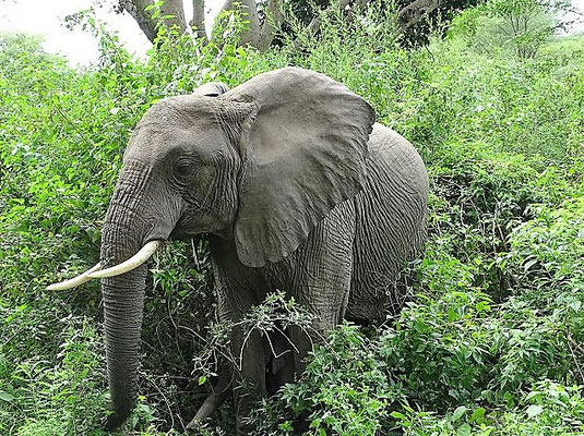 Elefant im  Lake Manyara Nationalpark, Tansania Safari