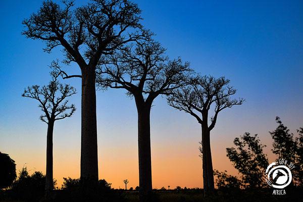 Baobabs in Süd-Madagaskar