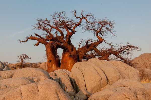 Baobab Botswana Safari